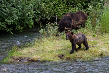 Grizzly bear and Bear Cub Catching Salmon at hyder Alaska photo