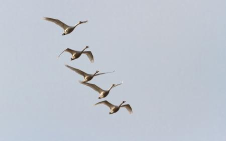 tundra swan: Tundra Swan, ave migratoria
