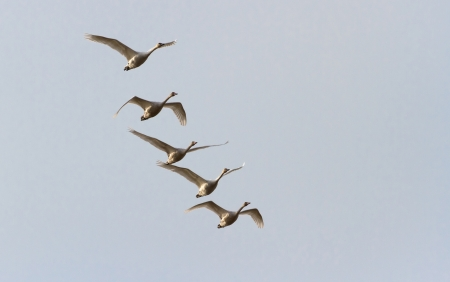 Tundra Swan, migratory bird Stock Photo