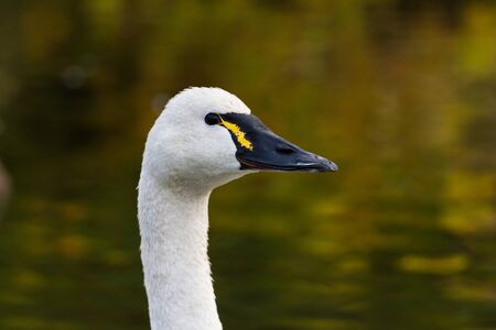 White Tundra Swan, migratory bird close up