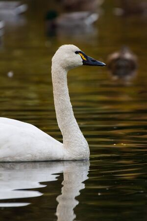 tundra swan: White Tundra Swan, migratory bird close up