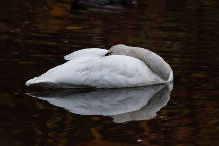 tundra swan: Blanco Tundra Swan, aves migratorias de cerca Foto de archivo