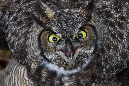 Great Horned Owl close up shot, BC Canada photo
