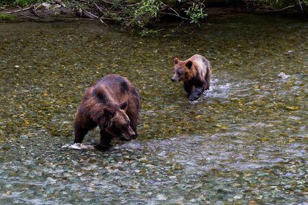ourson: Grizzly Bear Cub ours et p�che au saumon de l'Alaska � hyder Banque d'images