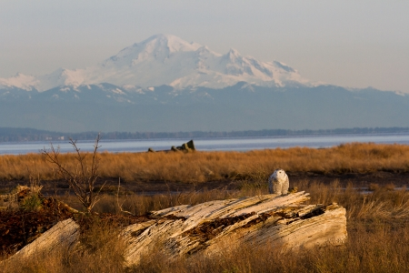 Snowy Owl and mountain baker, December 2012,  About 28 snowy owls near the foot of 64nd Street on Boundary Bay, Delta, BC, Canada photo