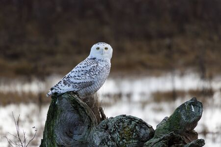 December 2012,  About 28 snowy owls near the foot of 64nd Street on Boundary Bay, Delta, BC, Canada photo