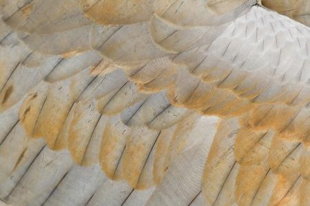 sandhill crane: sandhill crane feather close up for background