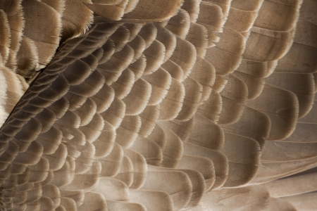 canada goose: Canada Goose feather close up for background Stock Photo