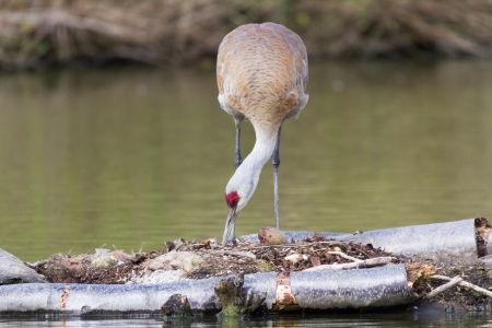 sandhill crane Nesting on the nest and egg Stock Photo - 20098009