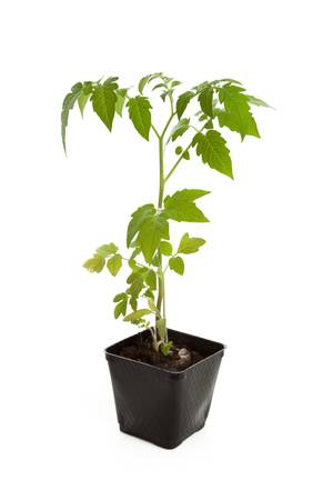 Tomato Seedling Plant with white background