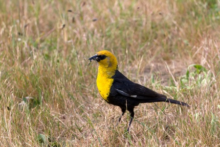 headed: yellow headed blackbird eating insects