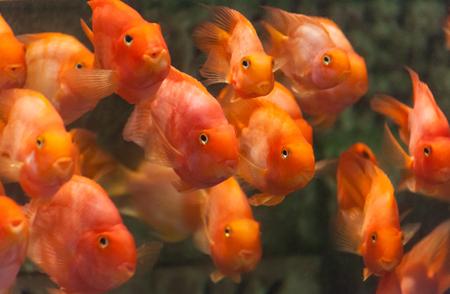 cichlid: blood parrot cichlid fish close up shot