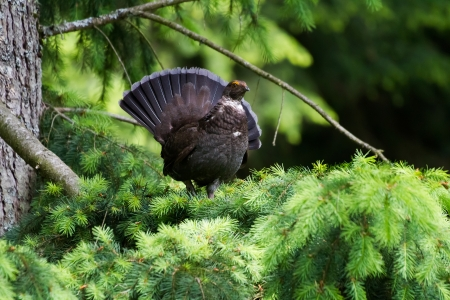 sooty: Sooty Grouse standing on pine tree