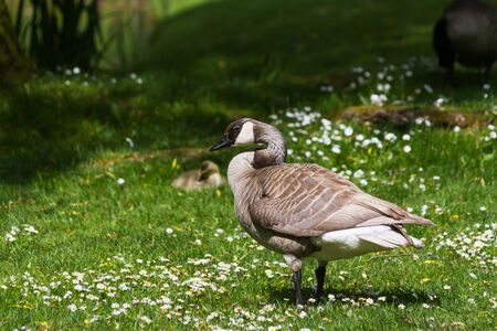 canada goose: White Canada Goose, leucistic, close up