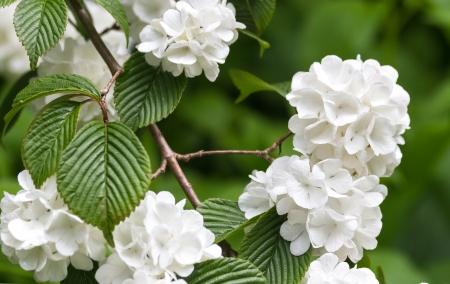White Viburnum plicatum flower close up shot