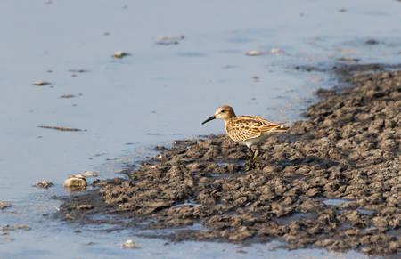 Pectoral Sandpiper on mudflats
