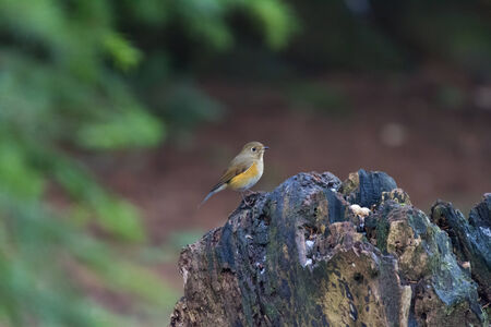 appear: Red-flanked Bluetail, first time appear in canada 2013 January
