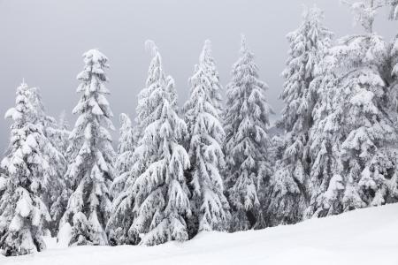 arbol de pino: Bosque del invierno en BC Canad? Foto de archivo