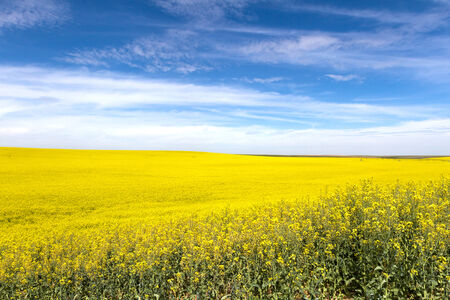 palouse: Yellow Canola Flower and blue sky in Palouse Washington State