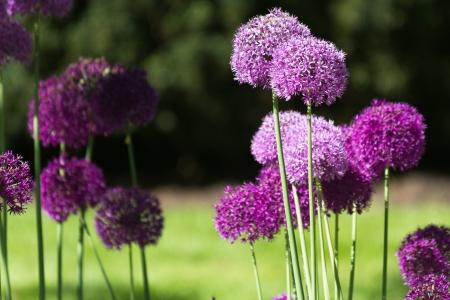 flower close up: Purple alium onion flower close up shot Stock Photo