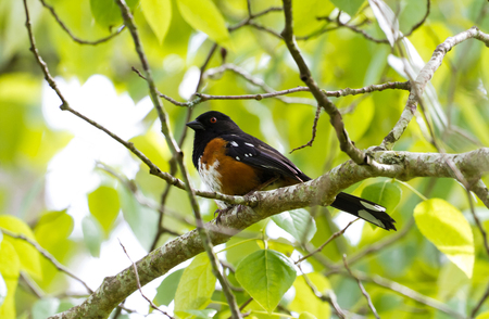 Spotted Towhee with green background