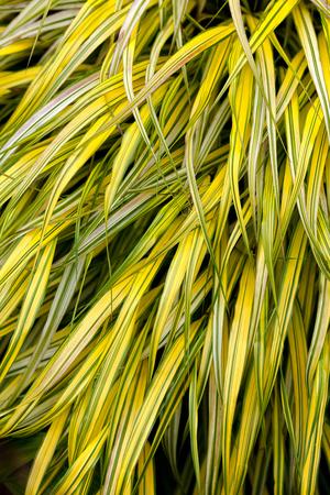 variegated: golden variegated hakone grass for background