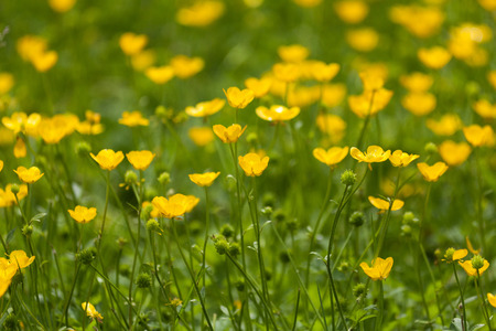 buttercup: Yellow buttercup flower for background Stock Photo