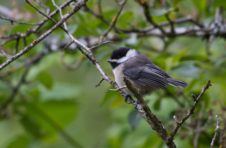capped: Black capped Chickadee with green background
