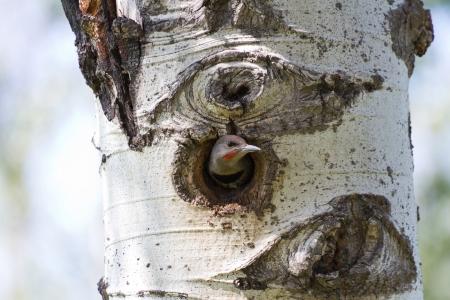 tremolare: Northern Flicker e nido da vicino