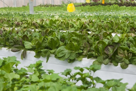 soilless cultivation: Greenhouse vegetable concept of Agriculture