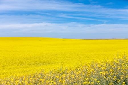 palouse: Yellow Canola Flower and blue sky in Palouse Washington State