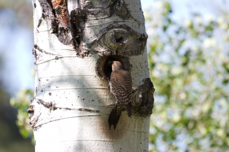 flicker: Northern Flicker and nest close up Stock Photo