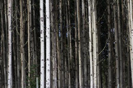 Aspen Tree Trunks for background photo