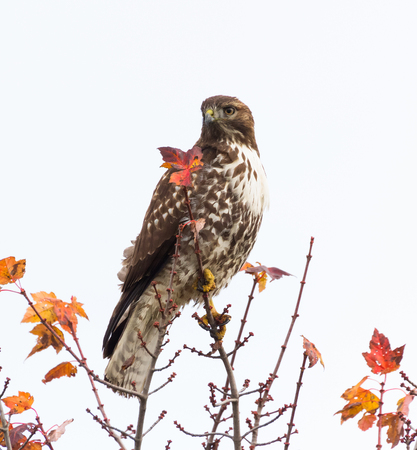 red tailed hawk: Red Tailed Hawk standing on tree
