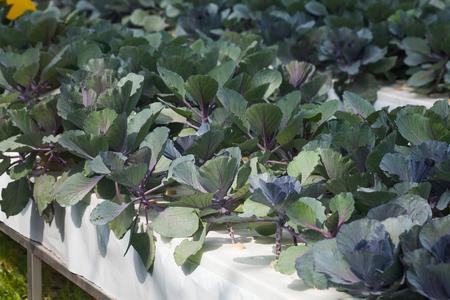 soilless cultivation: purple kohlrabi Growing In Vegetable Garden  Stock Photo