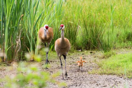 sandhill crane: sandhill crane and 7 days old baby chick