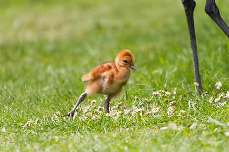 sandhill crane: 7 days old sandhill crane baby chick