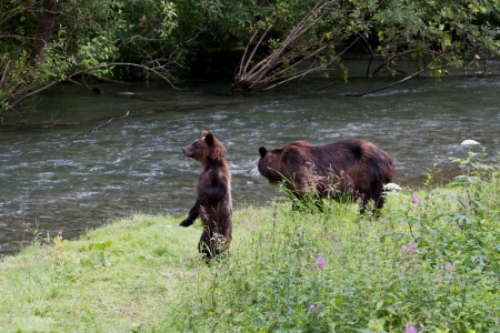 Grizzly bear and Bear Cub Catching Salmon at hyder Alaska Stock Photo