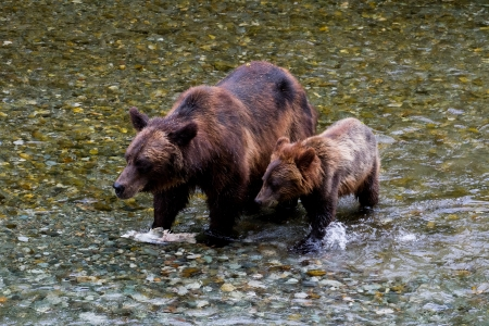 grizzly bear: Grizzly bear and Bear Cub Catching Salmon at hyder Alaska Stock Photo