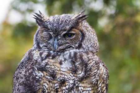 Great Horned Owl, BC Canada