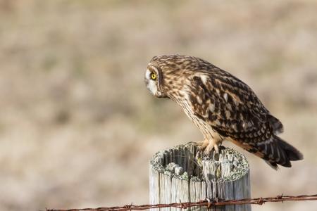 Short-eared Owl, at Boundary Bay, Delta, BC, Canada