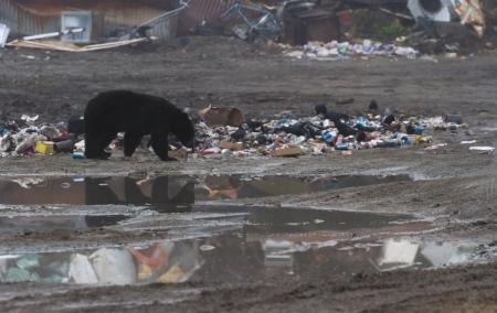 oso negro: Negro oso comiendo basura en hyder Alaska
