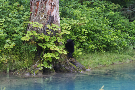 bear berry: Black bear eat berry at hyder Alaska