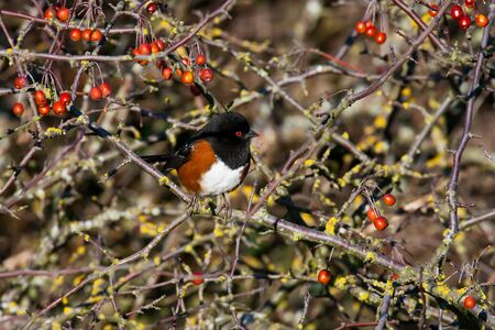 spotted: Spotted Towhee Stock Photo
