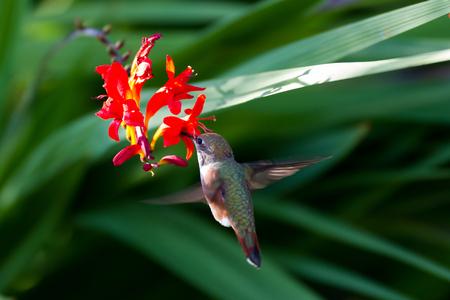 rufous: Rufous Hummingbird and red flower