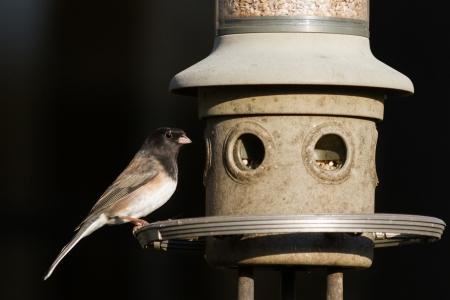 Dark-eyed Junco at a feeder Stock fotó - 24596623