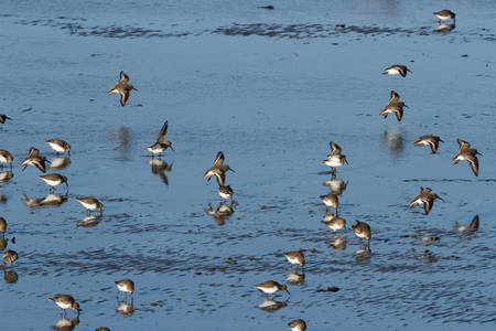 Dunlin and muddy beach