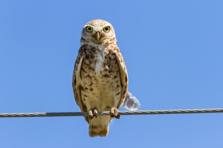 burrowing: Burrowing Owl and blue sky
