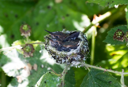 rufous: Young Rufous Hummingbird and nest
