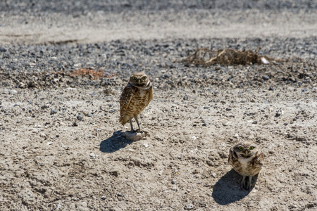 burrowing: Burrowing Owl, Bird of Prey